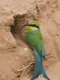Swallow-Tailed Bee-Eater (Merops Hirundineus), at Nest Hole, Kgalagadi Transfrontier Park, Africa Photographic Print by Ann & Steve Toon