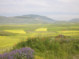 Fields of Flowerig Lentils, Highland of Castelluccio Di Norcia, Norcia, Umbria, Italy, Europe Photographic Print by Angelo Cavalli