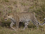 Leopard (Panthera Pardus) Walking, Masai Mara National Reserve, Kenya, East Africa, Africa Photographic Print by James Hager