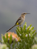 Cape Sugarbird, Perched on Protea, Kirstenbosch Botanical Gardens, Cape Town, South Africa Fotografie-Druck von Ann & Steve Toon