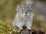 Collared Pika (Ochotona Collaris), Hatcher Pass, Alaska, United States of America, North America Photographic Print by James Hager