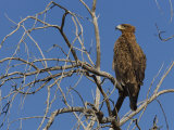Tawny Eagle (Aquila Rapax), Kgalagadi Transfrontier Park, Northern Cape, South Africa, Africa Photographic Print by Ann & Steve Toon