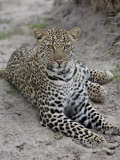 Leopard (Panthera Pardus), Masai Mara National Reserve, Kenya, East Africa, Africa Photographic Print by James Hager