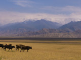 Cattle Walking Through Pastureland, Mountains in Background Torugart Pass, Kyrgyzstan, Central Asia Photographic Print by Michael Runkel