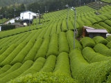 Rows of Green Tea Bushes Growing on the Makinohara Tea Plantations in Shizuoka, Japan Photographic Print