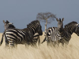 Zebras at Nechisar National Park, Arba Minch, Rift Valley Region, Ethiopia, Africa Photographic Print by Carlo Morucchio