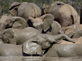 Group of African Elephant (Loxodonta Africana), Addo Elephant National Park, South Africa Photographic Print by James Hager