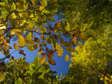 Beech Forest, Cansiglio, Veneto, Italy, Europe Photographic Print by Carlo Morucchio