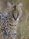 Serval (Felis Serval), Masai Mara National Reserve, Kenya, East Africa, Africa Photographic Print by James Hager