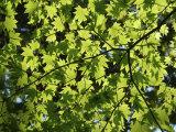 Japanese Maple in Summer Colours, Kussharo Caldera Lake, Akan National Park, Hokkaido, Japan Photographic Print by Tony Waltham