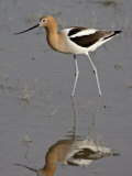 American Avocet (Recurvirostra Americana) Wading, Bear River Migratory Bird Refuge, Utah Photographic Print by James Hager