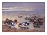 Widgeon and Teal, 1931 Prints by Archibald Thorburn