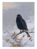 In Winter's Grasp - Blackbird, 1921 Giclee Print by Archibald Thorburn