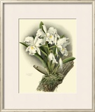 Dramatic Orchid I Poster by Chas Storer