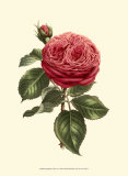 Magnificent Rose V Prints by Ludwig Van Houtte