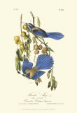 Florida Jays Prints by John James Audubon