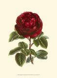 Magnificent Rose III Kunstdrucke von Ludwig Van Houtte