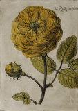 Rose Fresco I Prints