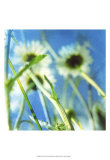 Daisies II Poster by Ingrid Blixt