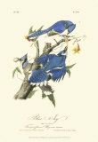 Blue Jays Prints by John James Audubon