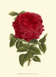 Magnificent Rose II Posters by Ludwig Van Houtte