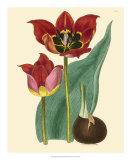 Elegant Tulips II Giclee Print