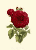 Magnificent Rose I Prints by Ludwig Van Houtte
