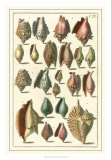 Seba Shell Collection III Giclee Print by Albertus Seba