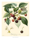 Cherries Giclee Print by  Bessa