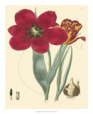 Elegant Tulips VI Giclee Print