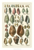 Seba Shell Collection I Giclee Print by Albertus Seba