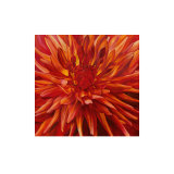Fabulous Orange Dahlia Poster by Sarah Caswell