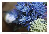 Drummond Blue Giclee Print by Meg Mccomb
