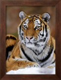 Siberian Tiger Poster by Mauritius 