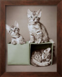 Bengal Kittens Posters by Rachael Hale