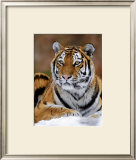 Siberian Tiger Posters by  Mauritius