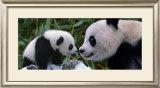 Panda Bear with Cub Prints by Steve Bloom