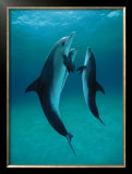 Danse Des Dauphins Posters by Bob Talbot