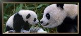 Panda Bear with Cub Art by Steve Bloom
