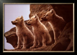 Wolf Pups Prints by Jim Brandenburg