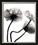 Three Poppies Posters by Stephane De Bourgies
