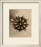 Sepia Botany Study IV Prints by Karl Blossfeldt
