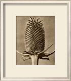 Sepia Botany Study III Posters by Karl Blossfeldt