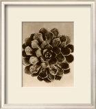 Sepia Botany Study II Poster by Karl Blossfeldt