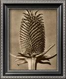 Sepia Botany Study III Prints by Karl Blossfeldt