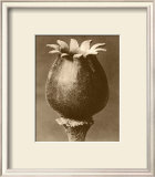 Sepia Botany Study I Prints by Karl Blossfeldt