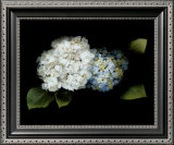 Hydrangea Poster by Rosemarie Stanford