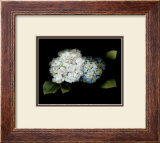 Hydrangea Posters by Rosemarie Stanford