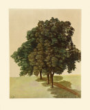 Three Lime Trees Collectable Print by Albrecht Dürer