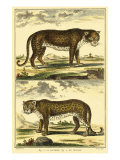 Diderot's Panther and Leopard Plakater af Denis Diderot